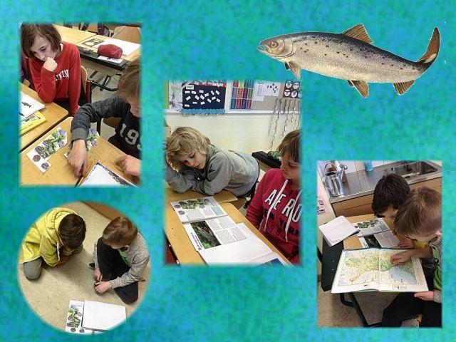salmon research